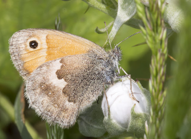Small Heath, Coenonympha pamphilus.  Sandwich Bay, 3 June 2015.