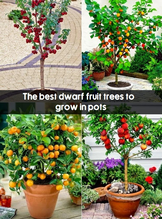 the best dwarf fruit trees to grow in pots  fruit gardening