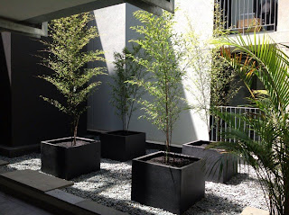 Phyllostachys nigra (Black   Bamboo) Planted and supplied By Bamboo Creations Victoria 19 Dec 2012