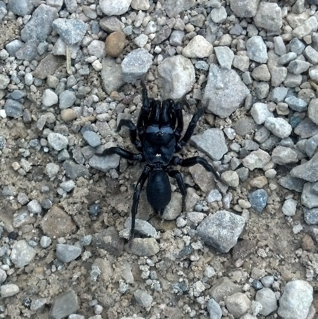 Black Purseweb Spider, Sphodros niger