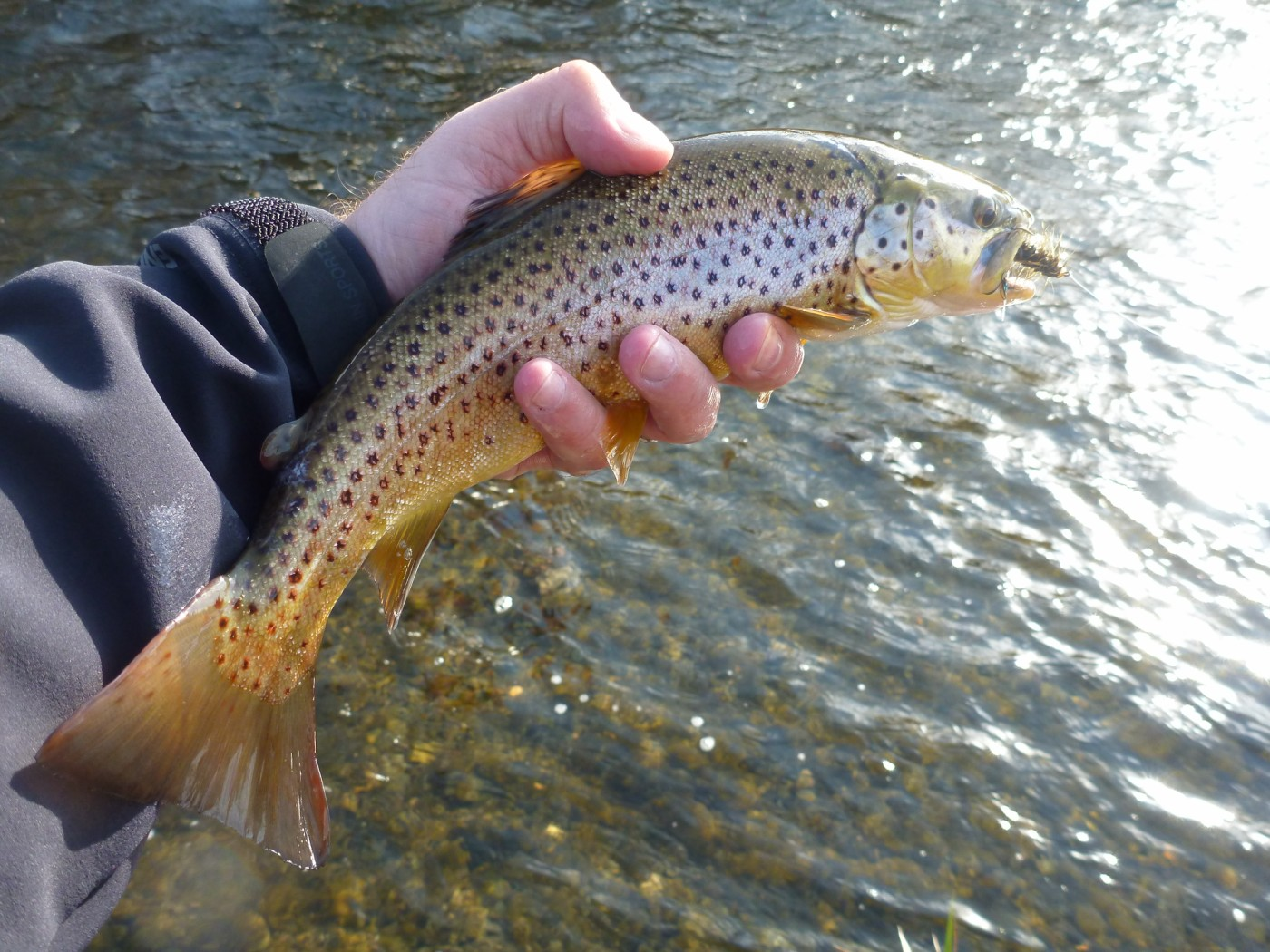 Stocked Brown Trout Caught On Woolly Bugger