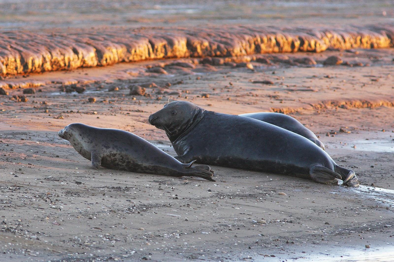 Famiglia di foche