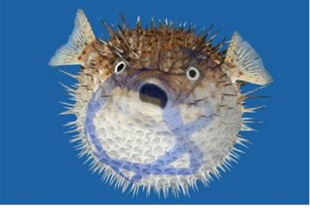 Fish on Elder Of Ziyon  Latest Member Of The Zionist Attack Zoo  Puffer Fish