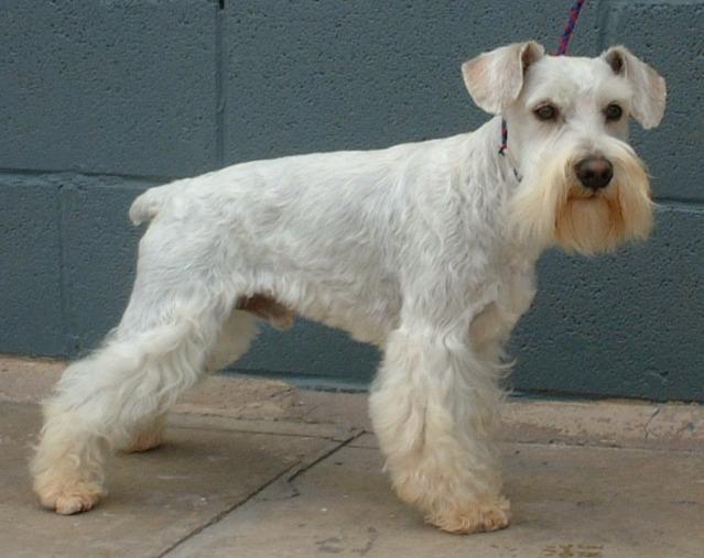 White Miniature Schnauzer Cute Puppy Dogs: White...