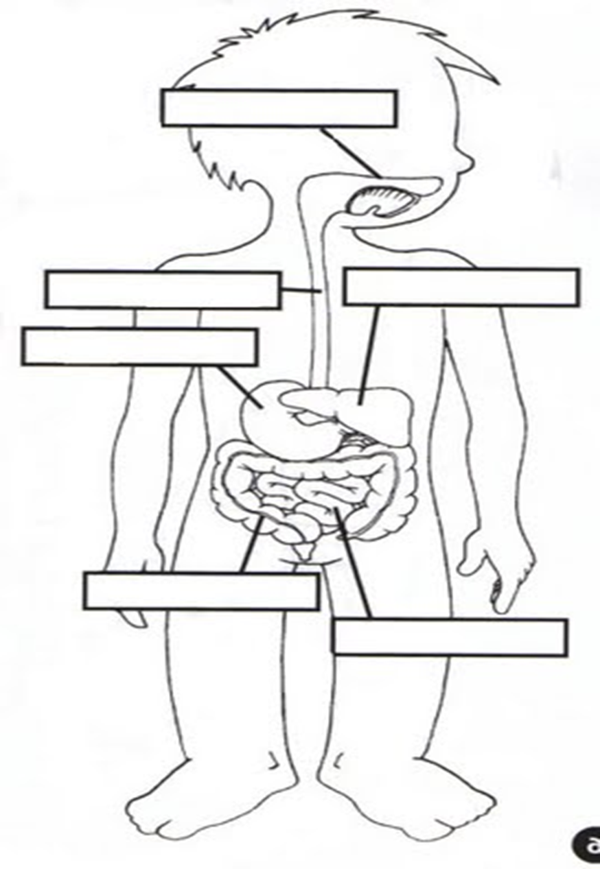 Del Sistema Digestivo Para Colorear Sistema Digestivo Para Niños