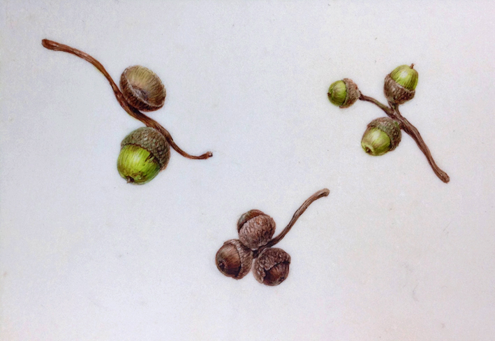 Three Acorns on vellum, watercolour painting