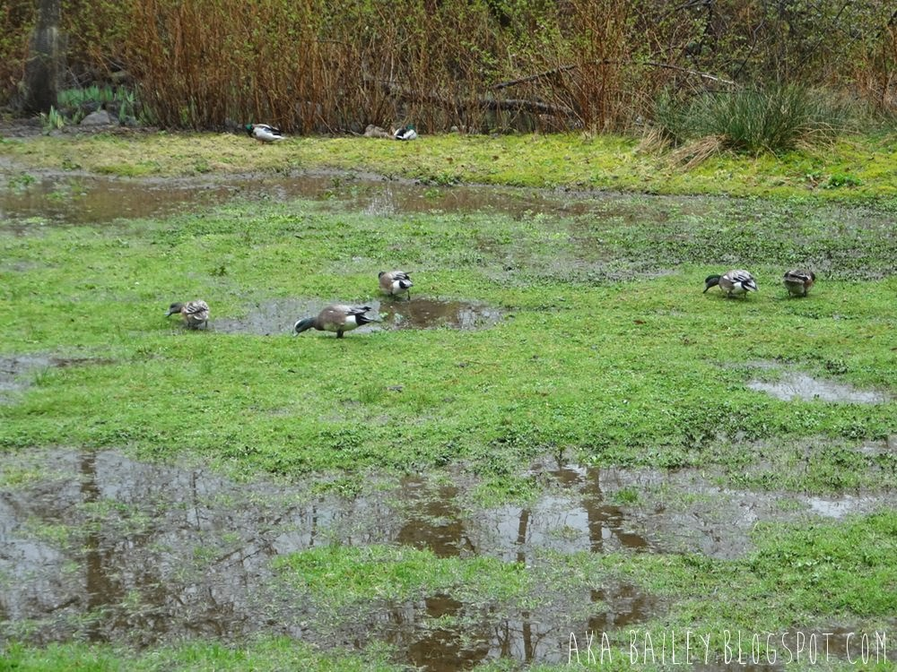 Ducks in puddles in Vancouver's Stanley Park