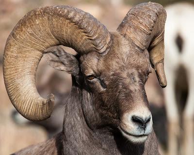 Waterton Canyon Bighorn Sheep