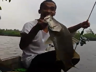 Gila Mancing Ikan Siakap Putih Barramundi