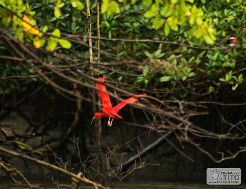Guará (Eudocimus ruber) voa por entre o manguezal na ilha de Maiandeua (Algodoal), no Pará