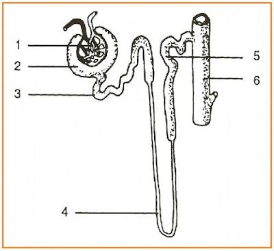 Gambar tubulus kontortus distal dan tubulus kolektivus