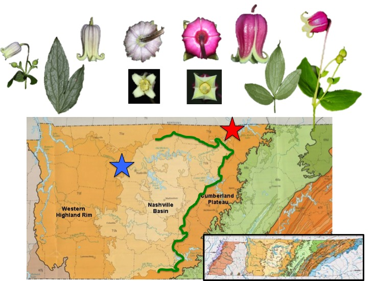The Red Star Indicates The Location Of Specimens Of C Viorna Collected In Jackson Co Tn Plants In Upper Right With Bright Reddish Flowers The Blue Star