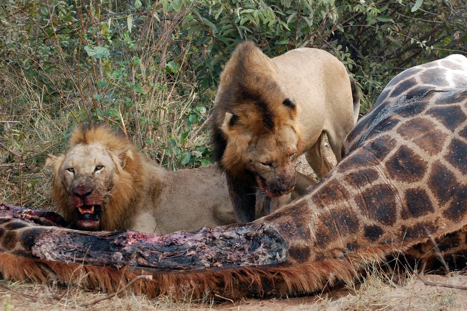 Fotos de la muerte de el cazador de cocodrilos 23