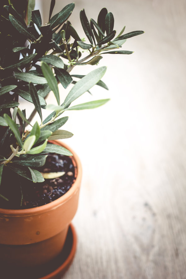 Olivenbaum im Vapiano Kiel