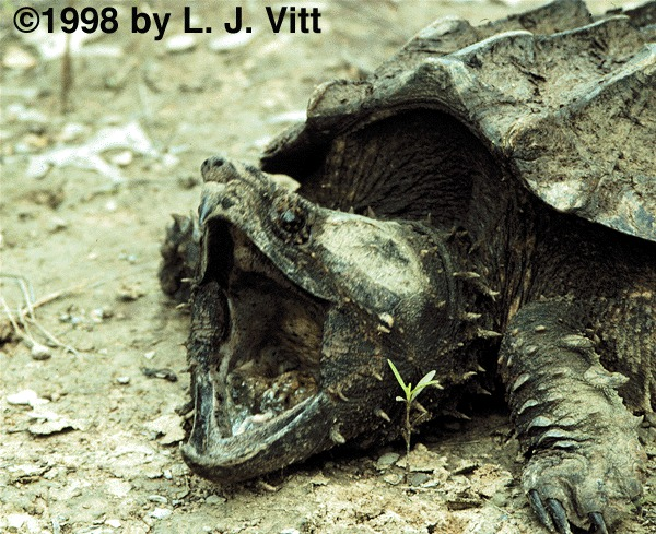 alligator snapping turtle dailyflashcards