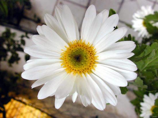 Que significa soñar con flor margarita