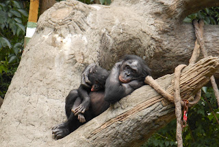 two bonobos pictures