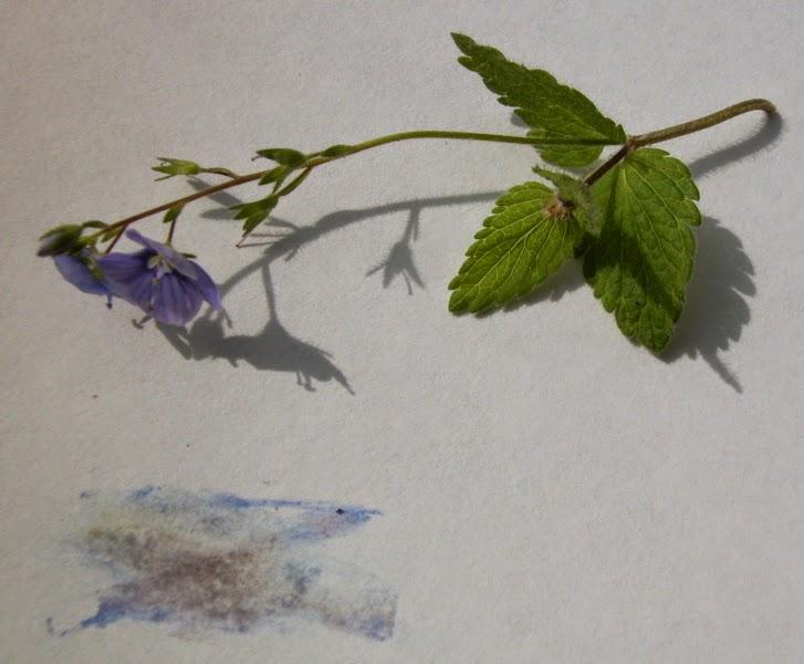 Les petites herbes atelier peindre avec les plantes - Campanule a feuilles rondes ...