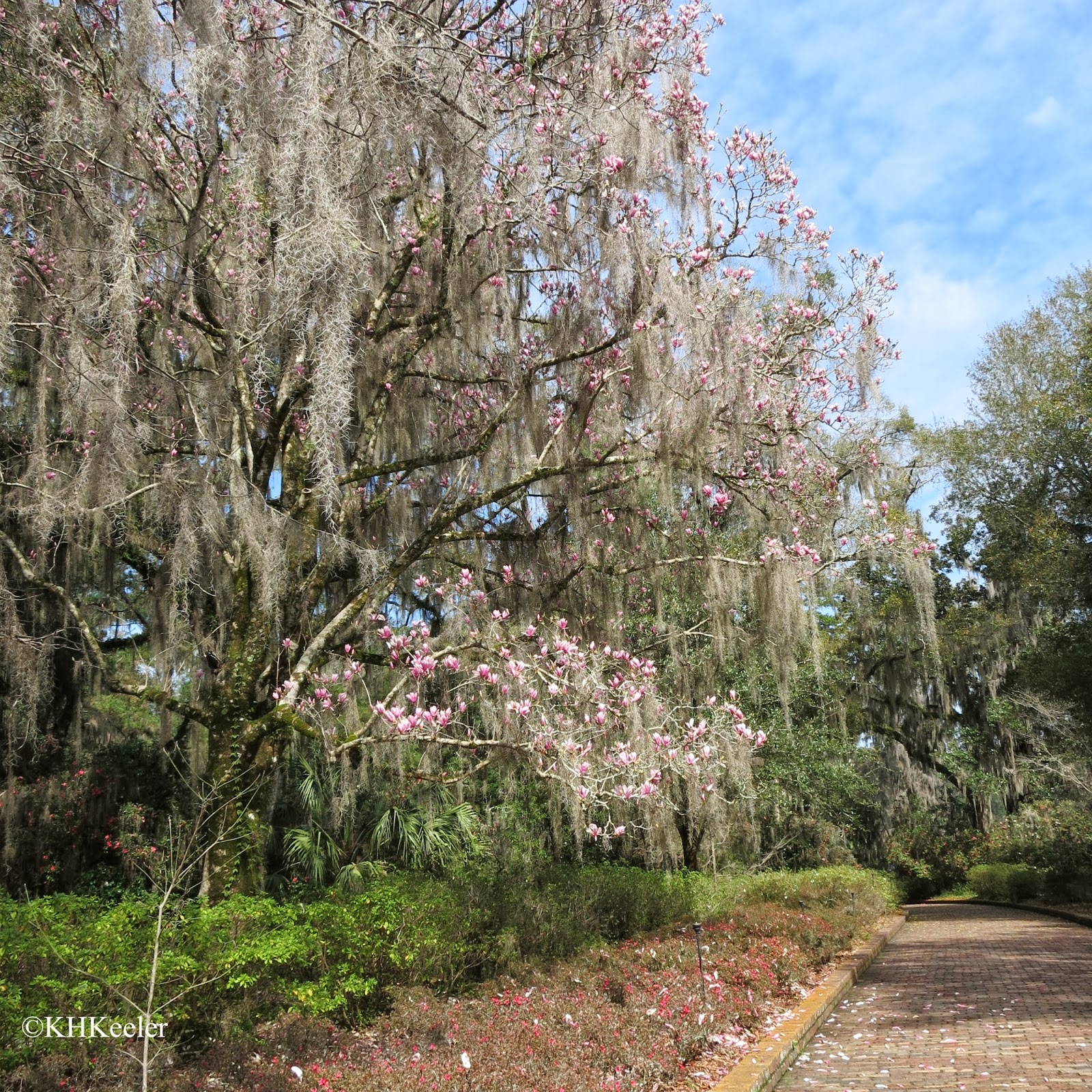 magnolia covered in Spanish moss
