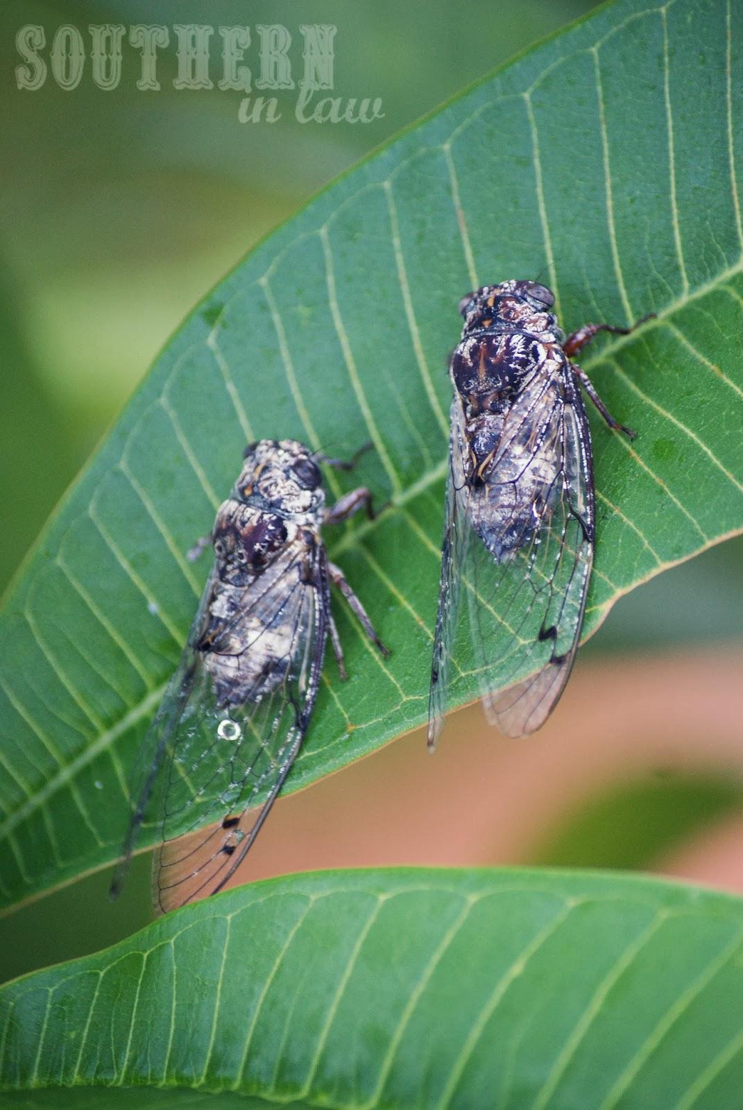 Black Prince Cicadas in Sydney
