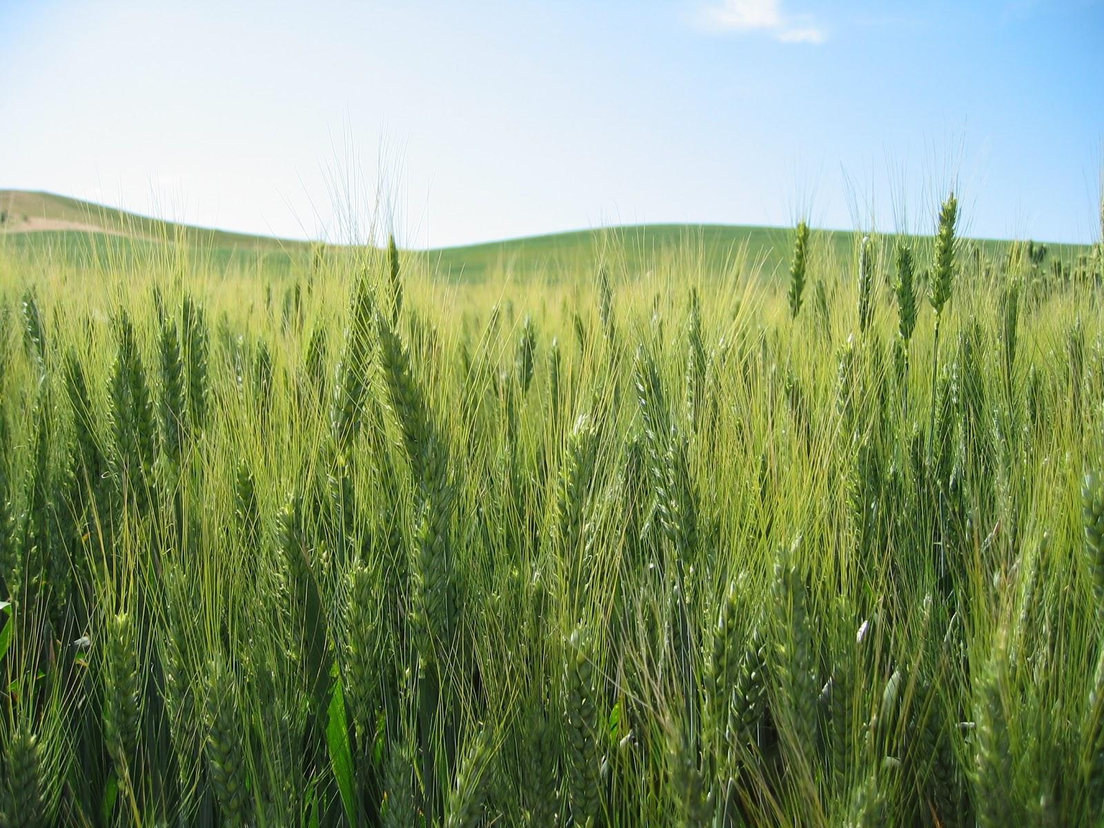 Молдавия: Урожай выгодней оставлять на полях