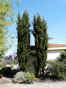 mes cyprès de Provence, chevelus, c'est vrai !!