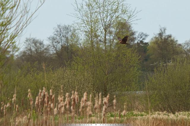 Bruine Kiekendief (v) - Marsh Harrier (f) - Circus aeruginosus