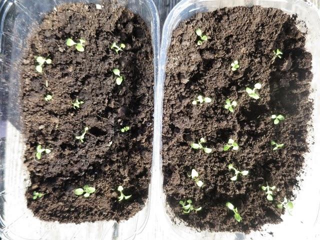всходы, рассада, наперстянка, глоксиния, Digitalis purpurea, семена, пакеты семян