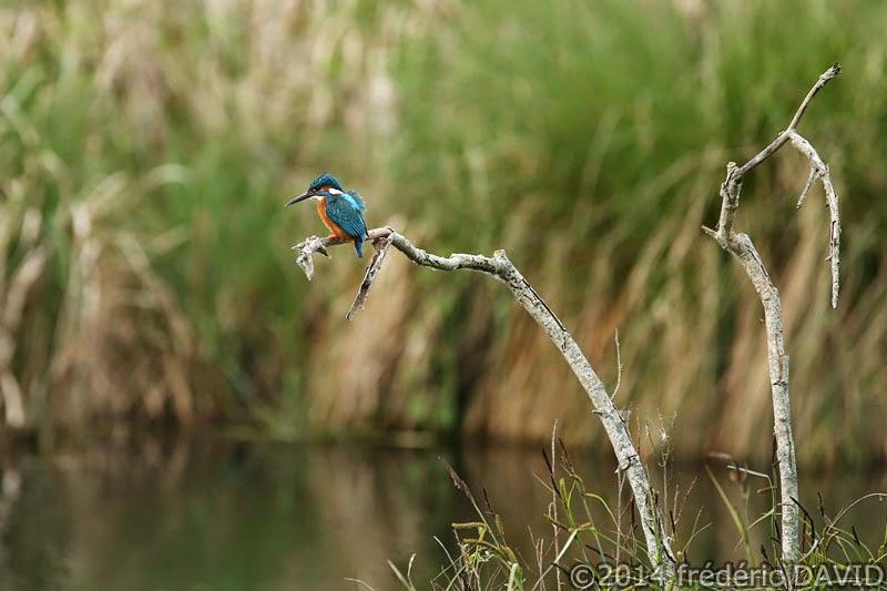 animaux oiseaux martin pêcheur marais Misery Essonne