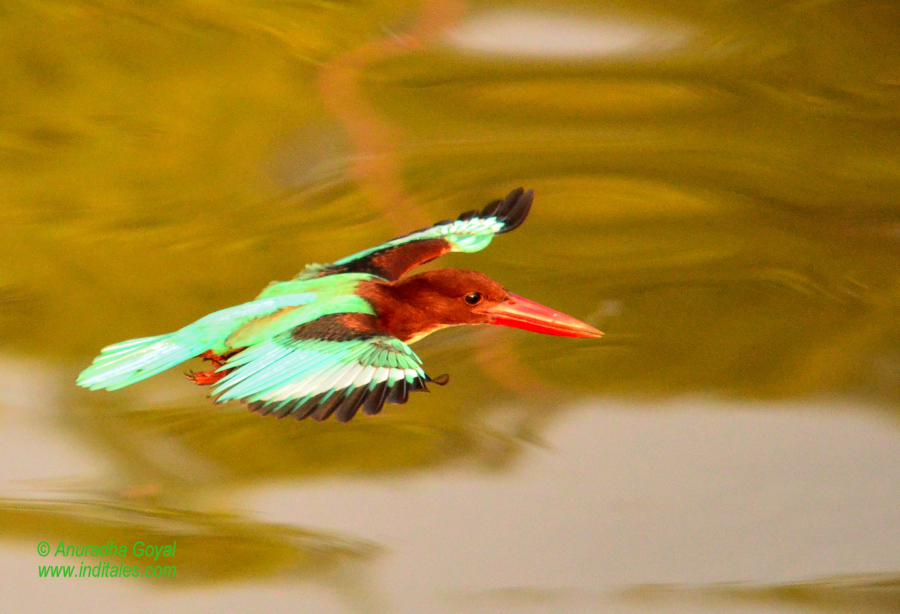 Kingfisher bird in-flight