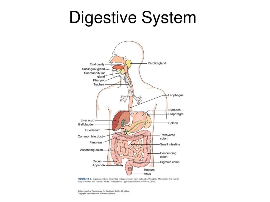 Human Body Diagram Organs No Labels