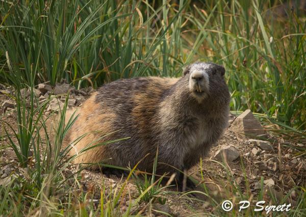 Marmota olympus