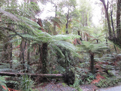 Tree Ferns Galore