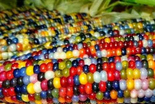 jagung berwarna warni