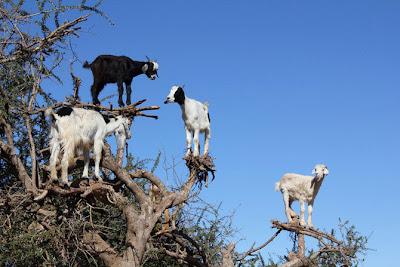 cabras, trepadoras,