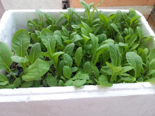 Cách loại rau sạch trồng trên sân thượng tại nhà trồng