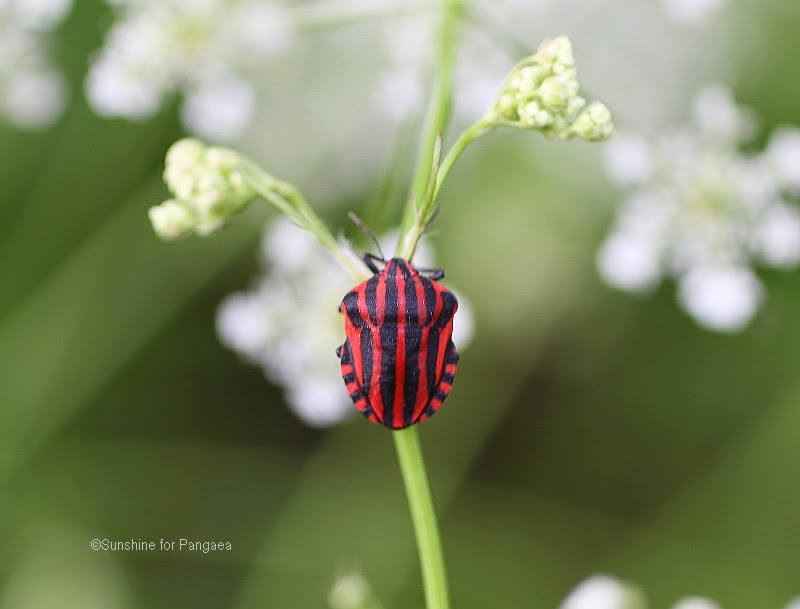 Italian Striped-Bug or Minstrel Bug Graphosoma lineatum