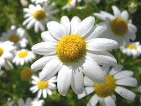 Flor da Camomila