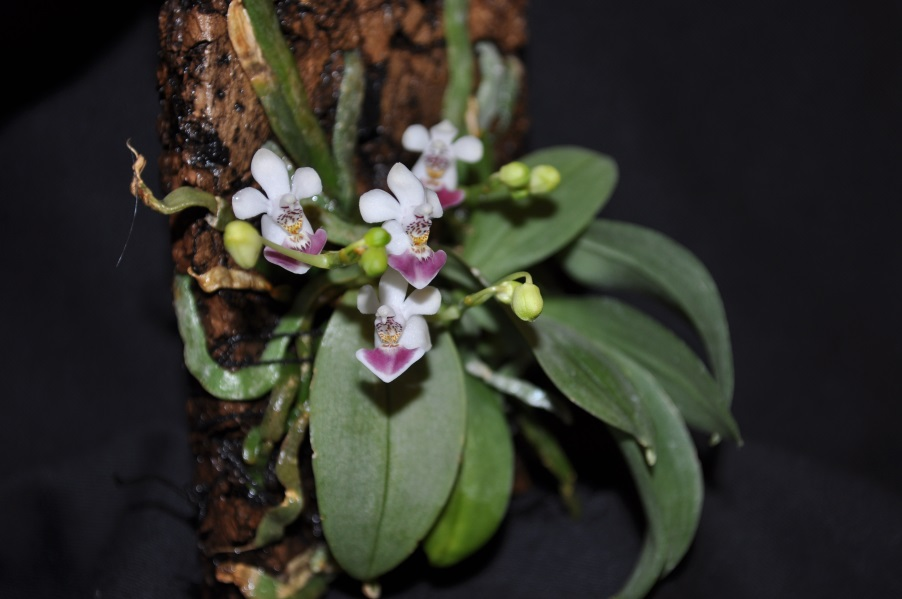 Le Genre Phalaenopsis Phal+parishii