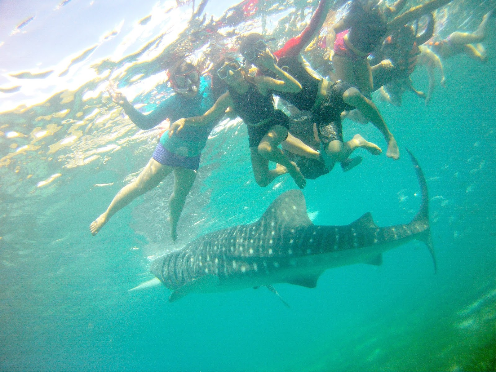 swimming with the massive yet graceful oslob whale sharks laces