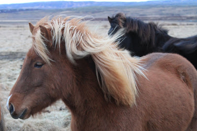 Icelandic Horses Near Reykholt