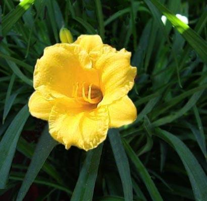 Giardinaggio laura ponte in valtellina hemerocallis - Fiori gialli profumati ...