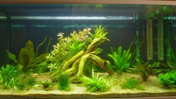L 39 aquarium de nicolas for Racine aquarium