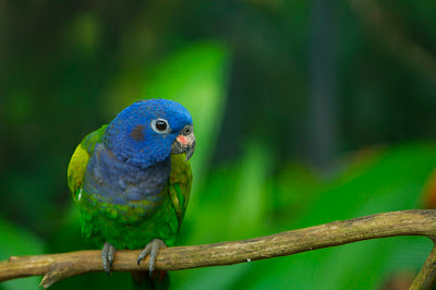 zdjecia papugi z choroba papuzia