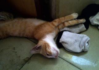 kucing kelenger