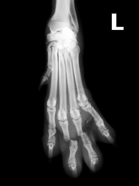 fractura dedos perro