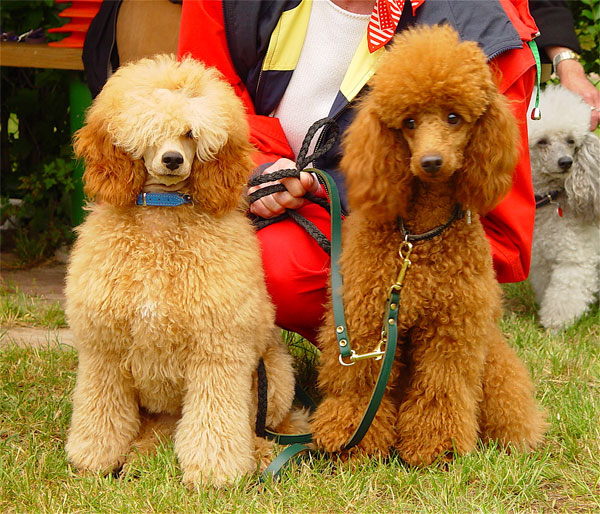 Image Result For Red Standard Poodles