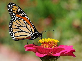 University of Minnesota butterfly expert confronts monarch decline
