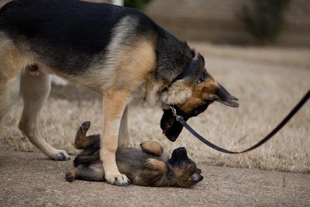 Dog Father Dog Walker Vancouver