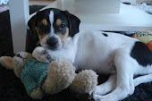 Boy onze eigenwijze halve beagle,...